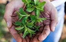 Stevia en las manos